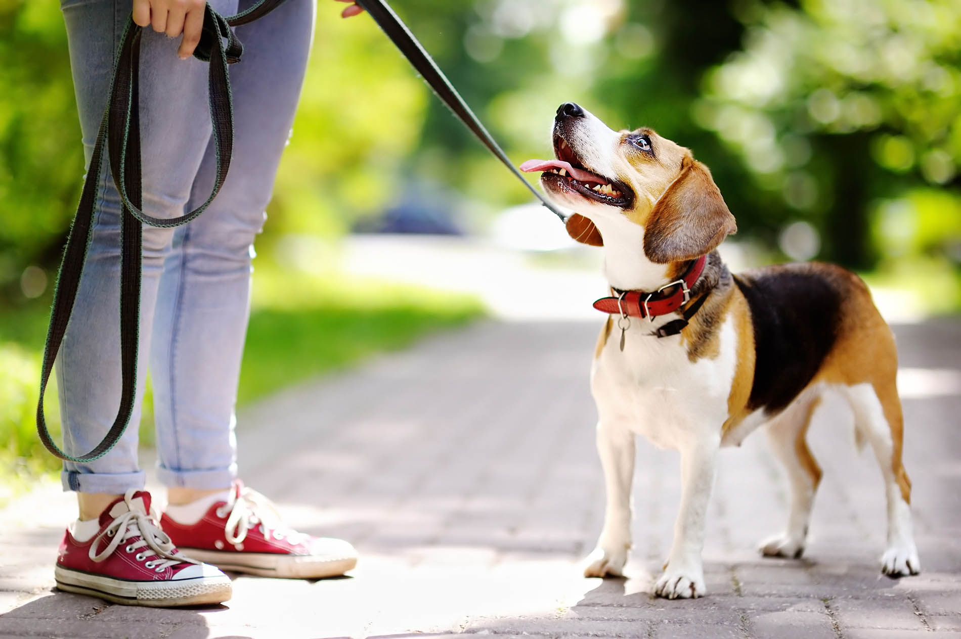 Beagle_leash